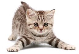 carattere dei gattini